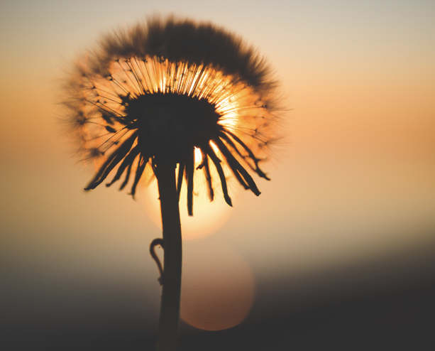 nspace-dandelion-sunset